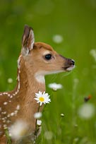 Picture of fawn in a field.
